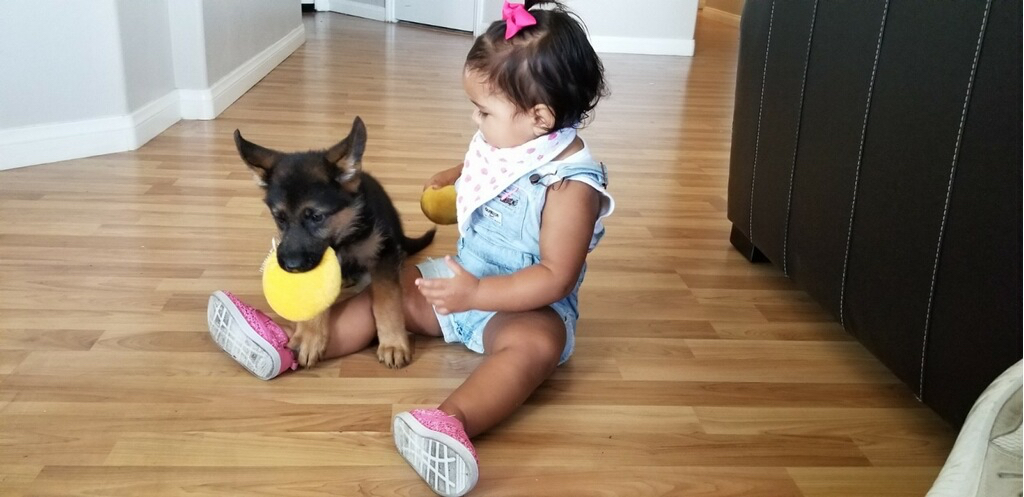 Is German shepherd a good family dog?